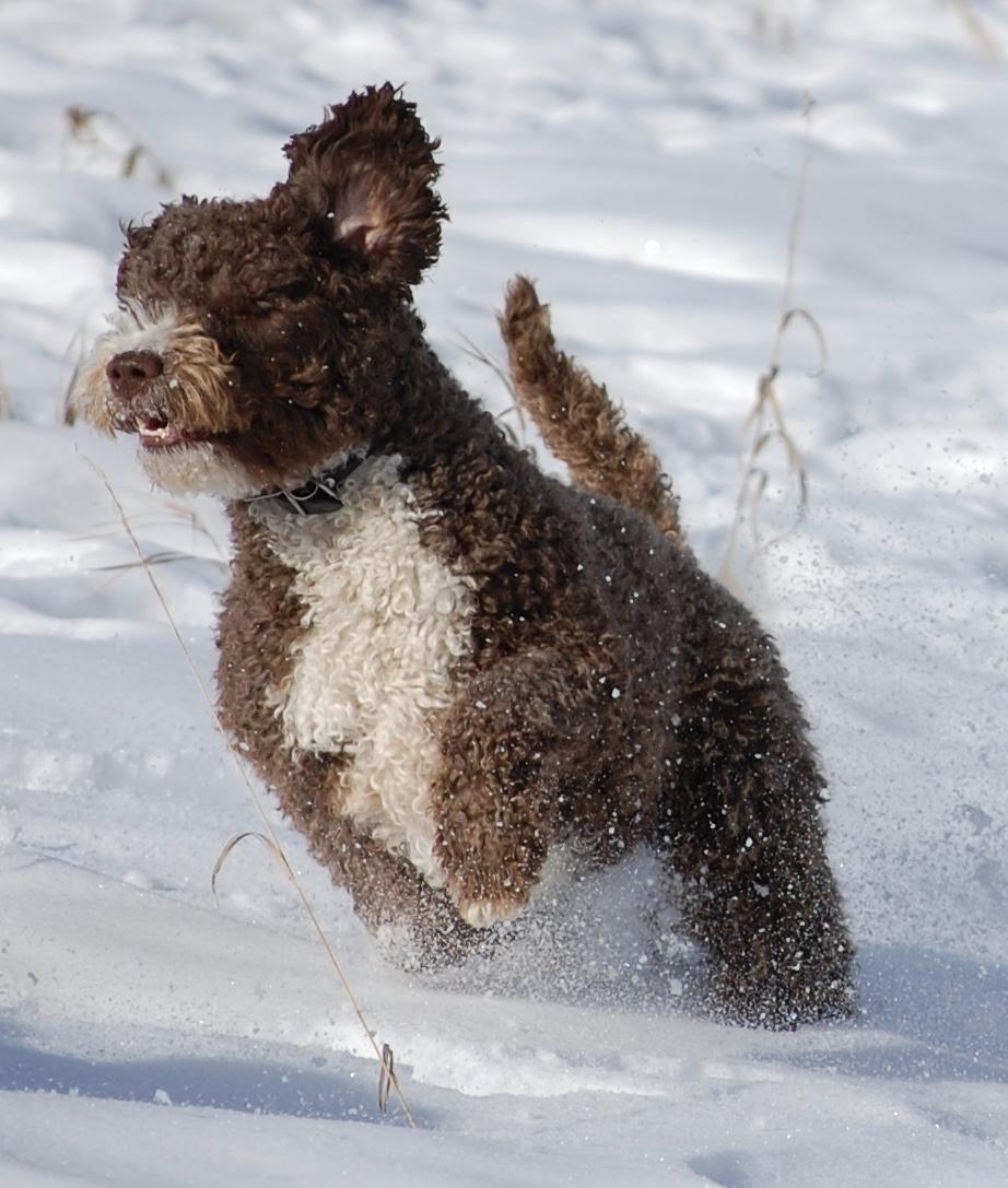 Praderia | Spanish Water Dogs