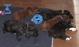 SWD Pups